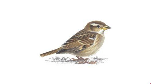 house-sparrow_juvenile_1200x675